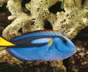 Blue Tang from monica tang